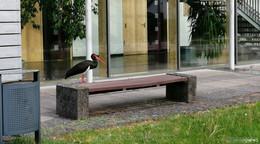 Ein scheuer Gast: Schwarzstorch stolziert vor dem Lüderhaus