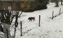 Molzbach im Wildschwein-Fieber: Frischling läuft gemütliche Runde durchs Dorf