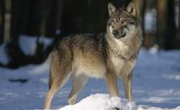 Vom Wolf nichts Neues: Wildpark Knüll öffnet wieder