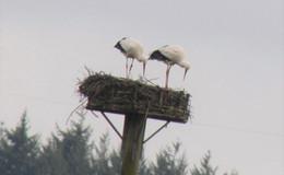 Das Herbsteiner Storchenpaar ist wieder da