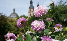 Mitten im Herzen der Domstadt: Ein Feuerwerk der Farben im Dahliengarten