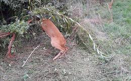 Polizei befreit Tier aus misslicher Lage: Rehbock an Weidezaun verfangen