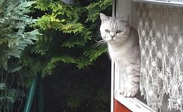 Britisch Kurzhaar Kater in Burghaun-Steinbach seit zwei Wochen vermisst