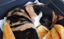 Verletzte Glückskatze in Kämmerzell gefunden und zum Tierarzt gebracht