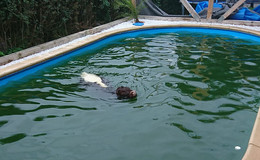 Ku(h)rioser Einsatz für die Feuerwehr: Rindvieh im Swimmingpool gefangen