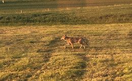 Bereits 23 Sichtungen in diesem Jahr: der Wolf ist zurück in Osthessen